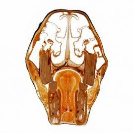 Zähne und Kieferhöhle Kopf Pferd