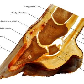 Horse hoof anatomy teaching chart