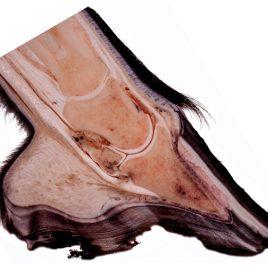 Anatomie der Pferdezehe Fotodruck