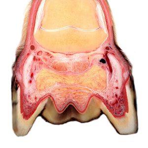 equine foot digital cushion and hoof cartilage
