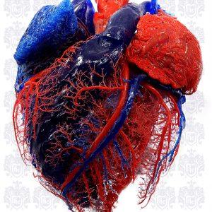anatomy of the heart vascularisation