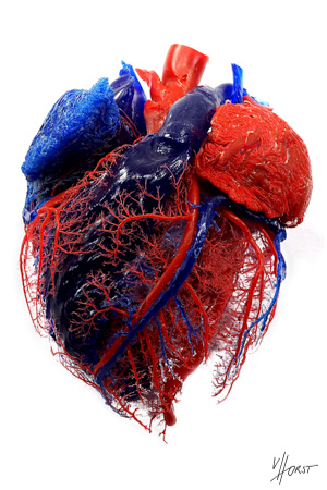 Sheet cardiology corrosion cast anatomy of the heart blood vessel distribution