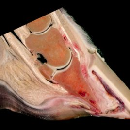Equine laminitis pathology print