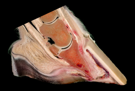 Coffin bone rotation in an equine laminitis pathology specimen