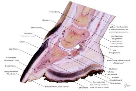hoof anatomy specimen