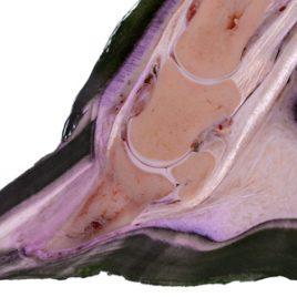 Horse Laminitis Foot CPE