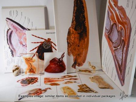anatomische Präparate und Drucke im Paketangebot
